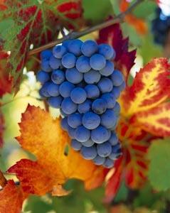 Gruppenavatar von Ich hasse Weintrauben mit Kernen!!!