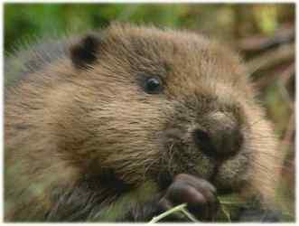 Gruppenavatar von Rettet den Wald, esst mehr Biber!