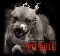 Pit Bull Austria