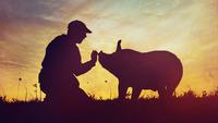 Tierrechtskino - The Last Pig