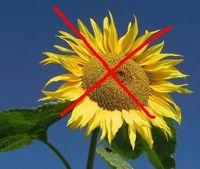 ich_hasse_sonnenblumen